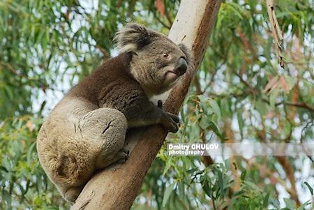 коала, о-в Филлип, Австралия