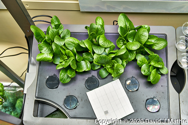 AeroGarden Farm 10-Left. Positions 01-06 Romaine Lettuce at 21 days. Image taken with a Leica TL-2 camera and 35 mm f/1.4 lens (ISO 500, 35 mm, f/8, 1/30 sec). (DAVID J MATHRE)