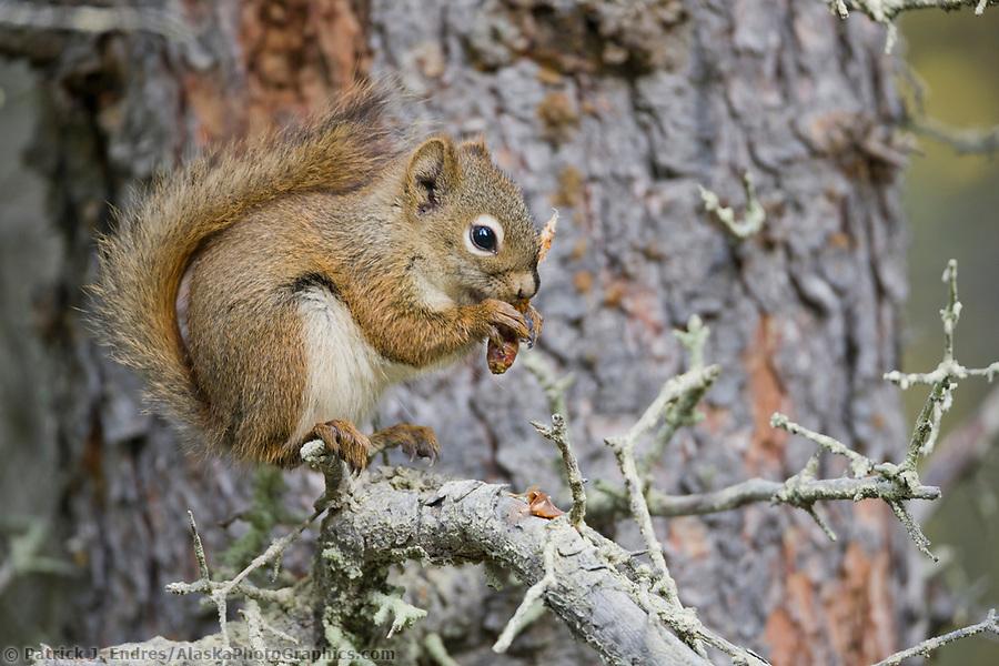 Red squirrel eats spruce cones, Katmai National Park, Alaska. (Patrick J. Endres / AlaskaPhotoGraphics.com)
