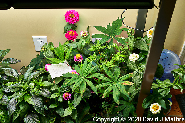 AeroGarden Farm 03-Right. Flowers: Dianthus, Zinnia (79 days). Image taken with a Leica TL-2 camera and 35 mm f/1.4 lens (ISO 320, 35 mm, f/8, 1/30 sec). (DAVID J MATHRE)