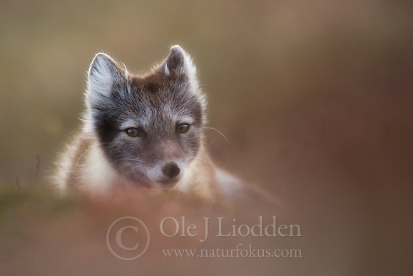 Arctic Fox (Alopex lagopus) in Svalbard (Ole Jørgen Liodden)