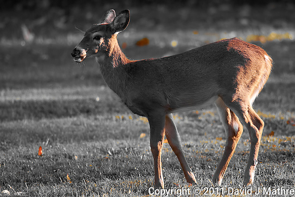 Young Doe at Dusk Image Taken with a Nikon D3s and 500 mm f/4 VR lens (ISO 250, 500 mm, f/4, 1/320 sec). (David J Mathre)