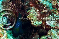 Black durgon, Melichthys niger (Bloch, 1786), Grand Cayman (StevenWSmeltzer.com)