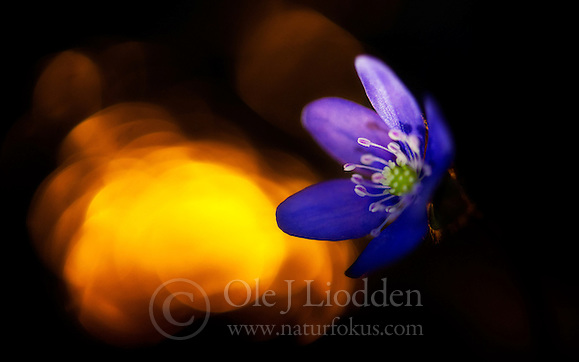 Blue Anemone (Hepatica nobilis), Norway (Ole Jrgen Liodden)