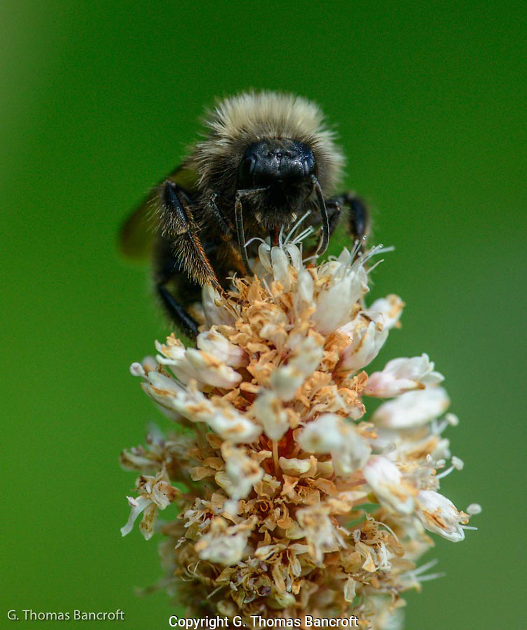 Western Bumblebee forages at the top of a flower. (G. Thomas Bancroft)