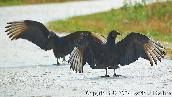 Pair of Black Vultures Spreading Their Wings to Dry in the Sun After a Rain Shower. Bio Lab Road in Merritt Island National Wildlife Refuge. Image taken with a Nikon D3s and 80-400 mm VRII lens (ISO 200, 400 mm, f/5.6, 1/500 sec). (David J Mathre)