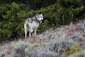 "Wolf, #820,  Lamar Pack, Yellowstone National Park, endangered species, controversy, yellowstone wolves, (Daryl Hunter's ""The Hole Picture""/Daryl L. Hunter)"
