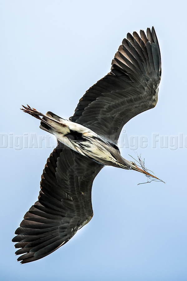 Grågegre sanker grener til reiret sitt | Gray Heron collecting brenches for their nest. (Kay-�ge Fugledal)
