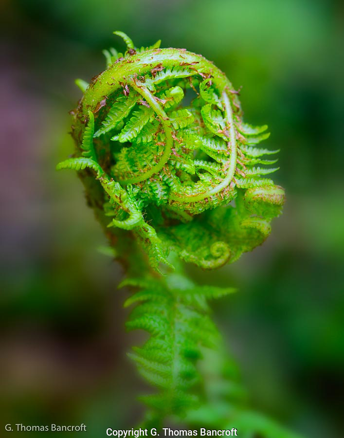 New fern fronds were beginning to open.  They are so delicate when in this fiddlehead stage and fun to study closely. (G. Thomas Bancroft)