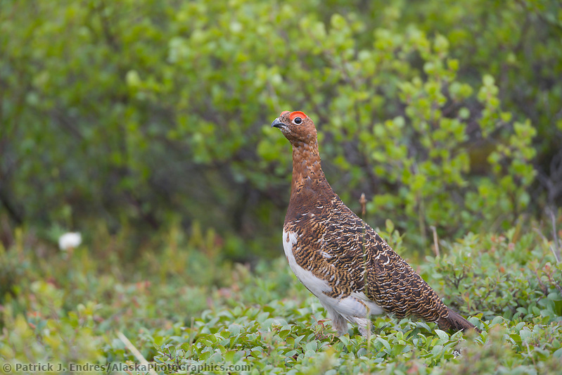 Denali National Park photos: Male Willow Ptarmigan, summer tundra, Denali National Park, Alaska (Patrick J. Endres / AlaskaPhotoGraphics.com)