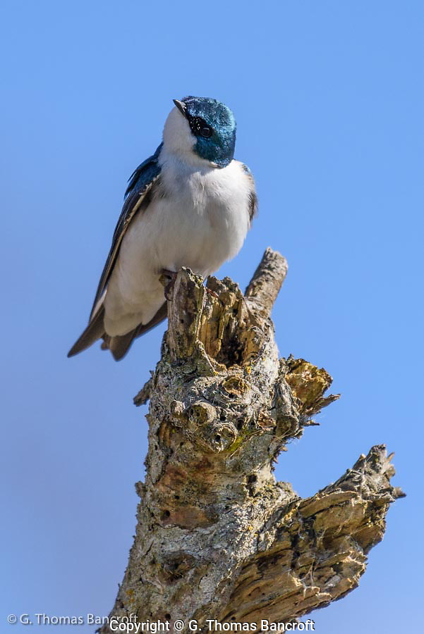 A tree swallow peers down from a perch on a dead snag at Wylie Slough along the Skagit River. (G. Thomas Bancroft)