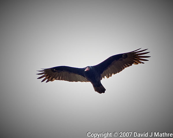 Turkey vulture soaring above my backyard. Image taken with a Nikon D2xs camera and 80-400 mm VR lens (ISO 400, 400 mm, f/5.6, 1/250 sec). (David J Mathre)