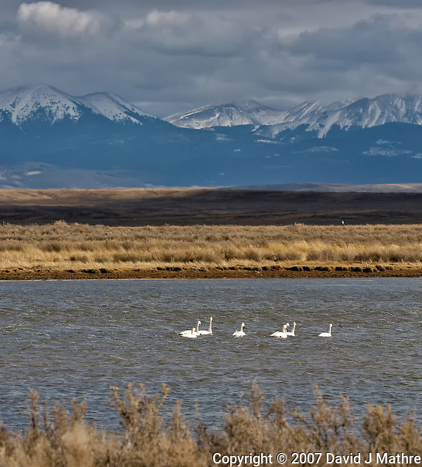 Tundra Swans. Arapaho National Wildlife Refuge. Image taken with a Nikon D2XS and 200-400 mm f/4 VR lens (ISO 400, 200 mm, f/8, 1/1600 sec). Raw image processed with Capture One Pro 6, Photoshop CS5, Nik Define, Nik Color Efex Pro 2. (David J Mathre)