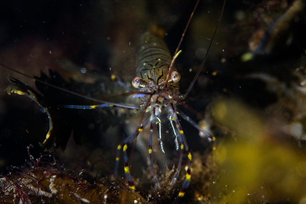 Small shrimps translucent with splashes of colour 2020 Image from the Below the Skye Line project. Photographer: Gill Williams Post Production: Geraint Ashton Jones https://www.belowtheskyeline.com (Below the Skye Line / © Gill Williams & © Geraint Ashton Jones)