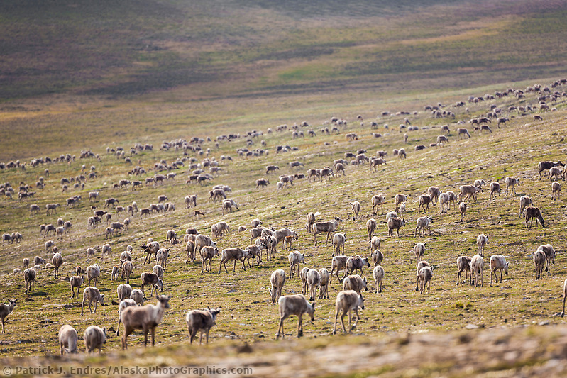 Caribou of the Western arctic herd migrate through the Utukok uplands, National Petroleum Reserve Alaska, Arctic, Alaska. (Patrick J Endres / AlaskaPhotoGraphics.com)