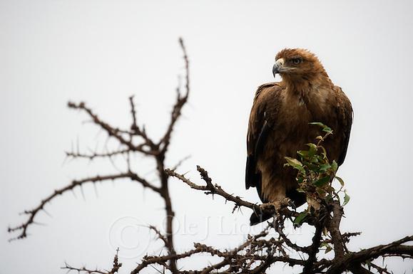 Tawny Eagle (Aquila rapax) in Masai Mara, Kenya (Ole Jørgen Liodden)