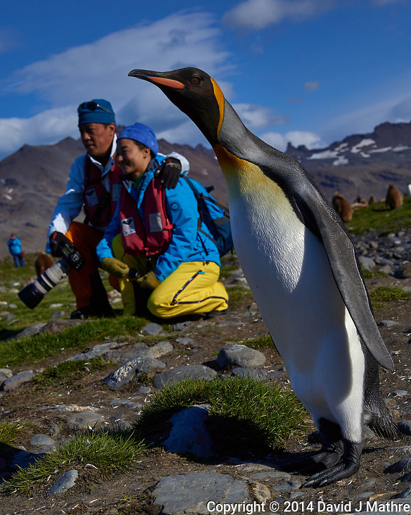 Photobombed by a King Penguin on South Georgia Island. Image taken with a Leica T camera and 18-56 mm lens (ISO 100, 30 mm, f/4.6, 1/4000 sec). Raw image processed with Capture One Pro 8, Focus Magic, and Photoshop CC. (David J Mathre)