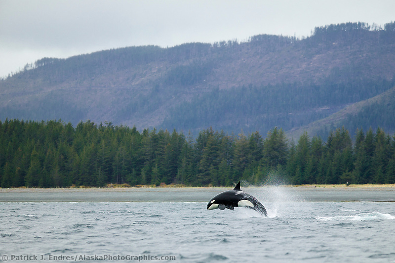 Alaska whale photos: Orca, or Killer whale breaches in Port Gravina, Prince William Sound, Alaska. Killer whales are social animals that live in stable family-related groups, and travel the waters of Alaska's coast. (Patrick J. Endres / AlaskaPhotoGraphics.com)