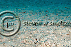 Brown Garden Eel, Heteroconger longissimus, Grand Cayman (StevenWSmeltzer.com)
