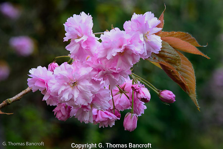 Cherry flowers and new flower buds were clustered at the end of the branch.  The soft light allowed the light pink to sparckle in the soft light. (G. Thomas Bancroft)