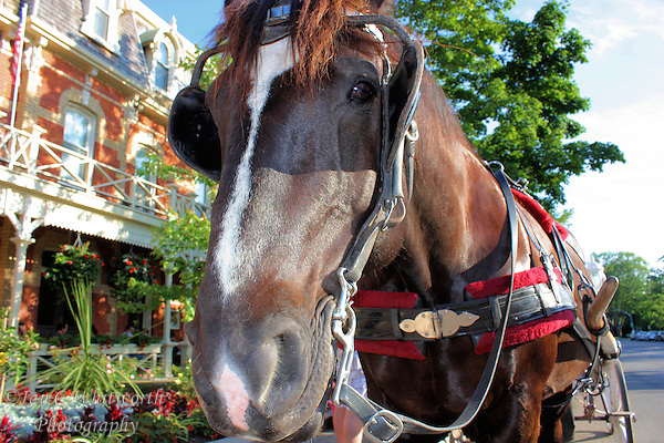 A beautiful horse stands in harness waiting for a buggy fair. (Ian C Whitworth)