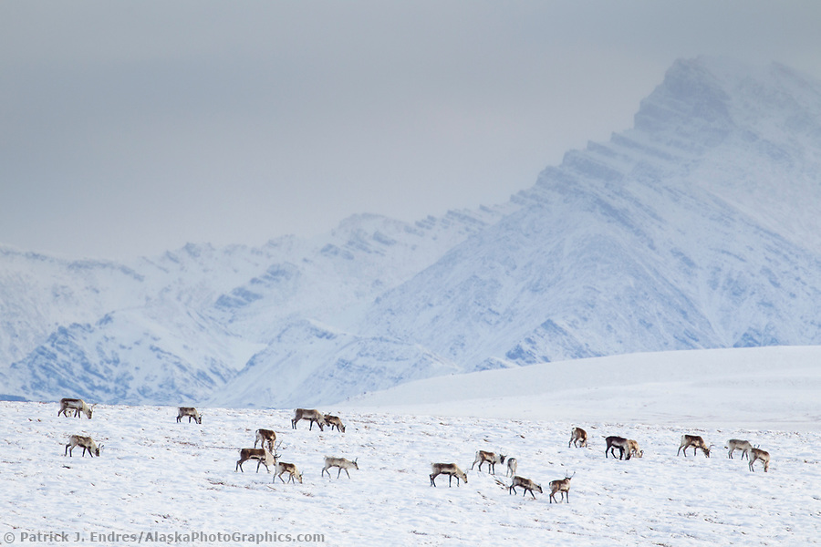 A herd of caribou migrate over the snow covered tundra, philip smith mountains of the Brooks Range, Arctic, Alaska. (Patrick J Endres / AlaskaPhotoGraphics.com)