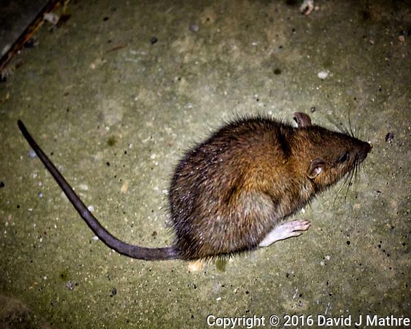 Dying Rat at My Door Step. Image taken with a Nikon D800 camera and 105 mm f/2.8 VR macro lens (David J Mathre)