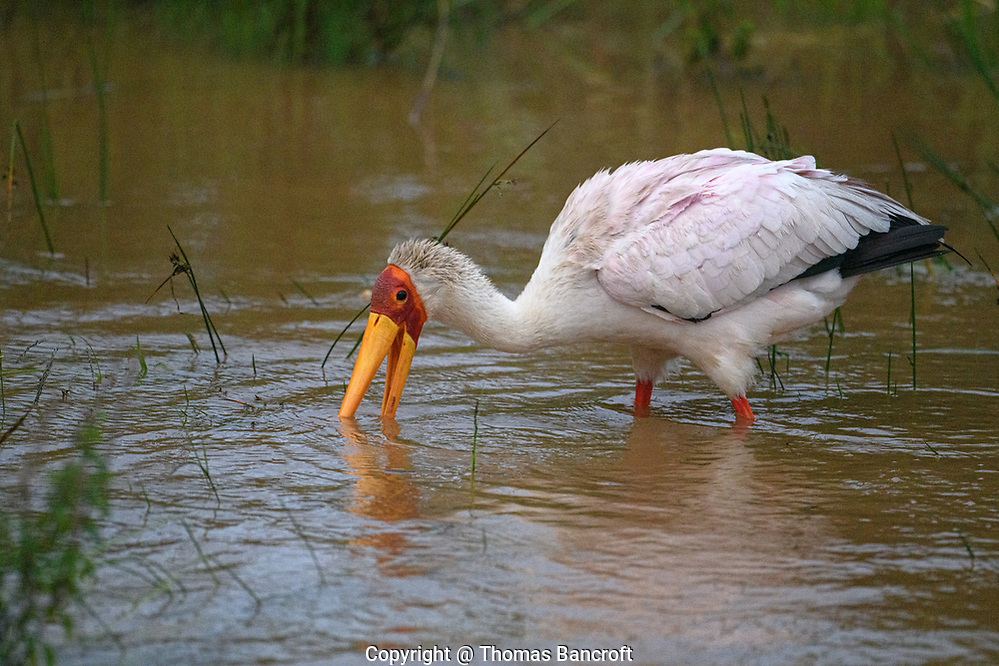 The Yellow-billed Stork feeds by opening its bill and placing it into the water. It then moves the bill laterally., snapping shut when it touches a prospective prey item. (Thomas Bancroft)