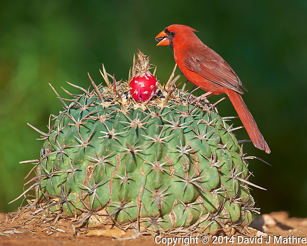 Northern Cardinal on a Cactus. Bobcat Blind at Dos Venadas Ranch in Southern Texas. Image taken with a Nikon D4 camera and 600 mm f/4 VR lens (ISO 720, 600 mm, f/5.6, 1/2000 sec). (David J Mathre)