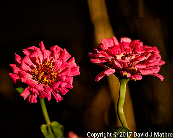 Late autumn reddish-pink Zinnia flowers. Backyard Nature in New Jersey. Image taken with a Nikon D4 camera and 80-400 mm VR telephoto zoom lens (ISO 100, 400 mm, f/5.6, 1/800 sec). (David J Mathre)