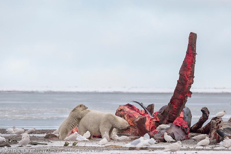 Polar bears feed on a Bowhead whale carcass on Barter Island, Alaska. (Patrick J Endres / AlaskaPhotoGraphics.com)