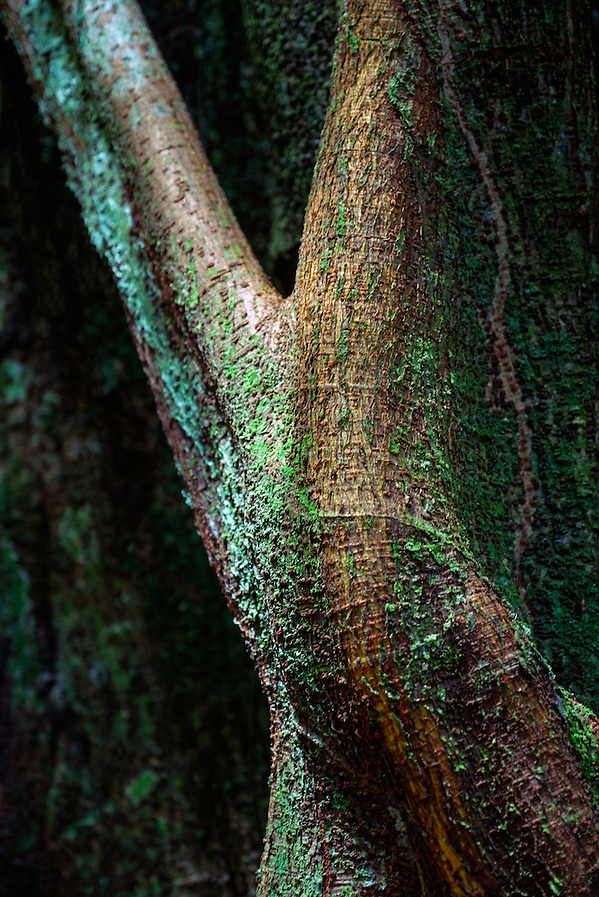 LORETO, PERU - CIRCA OCTOBER 2015: Parts and details of tree trunk in the the Peruvian Amazon. (Daniel Korzeniewski)