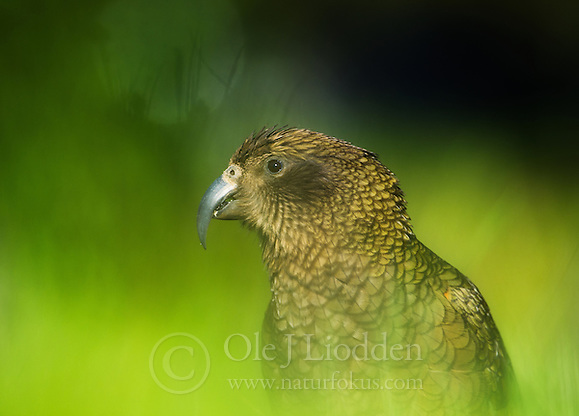 Kea (Nestor notabilis), a large endemic parrot photographed in Arthur's Pass, New Zealand (Ole Jørgen Liodden)