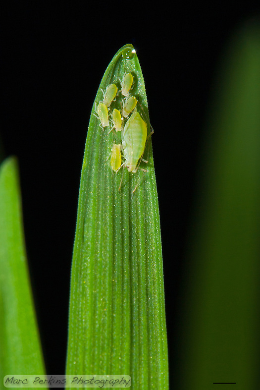 A small family of green aphids stands on the end of a stalk of tack oat grass, {Avena sativa}, that has a tiny drop of clear water at the tip (because it is guttating due to high-humidity).  There is one larger aphid (most likely a wingless parthenogenetically reproducing female, possibly a fundatrix) and six smaller aphids (probably her offspring / babies).  I'm not certain what species of aphid these are, but they may be {Diuraphis noxia}, the Russian Wheat Aphid.  Aphids are phloem feeding parasites, so this isn't a good sign for the grass, but I think they're absolutely adorable with their spindly little legs, long antennae, and red eyes.  So cute! Having just a couple of blades of grass blurred out of focus in the background gives context without distracting from the aphids.  The scale bar (lower-right) is 1mm long; a version of this image without the scale bar is available upon request. (Marc C. Perkins)