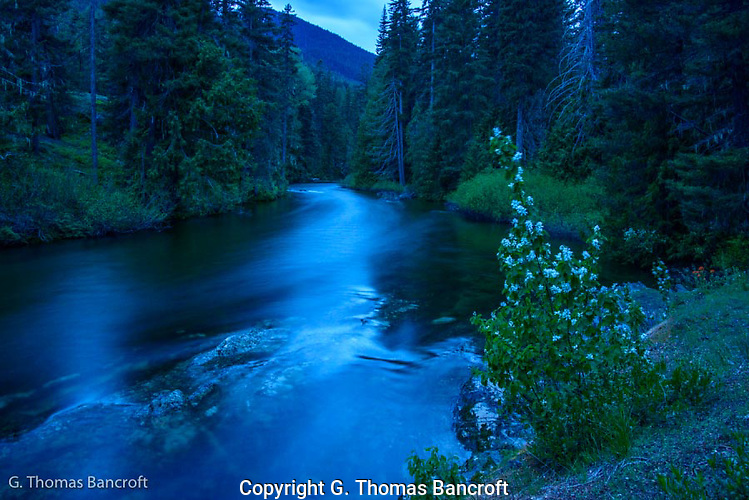 The light turned blue as twilight moved across the landscape.  The western serviceberry glowed in the foreground and the creek became soft with the blur created by a slow shutter speed.  I found it a very relaxing scene to sit for a while. (G. Thomas Bancroft)