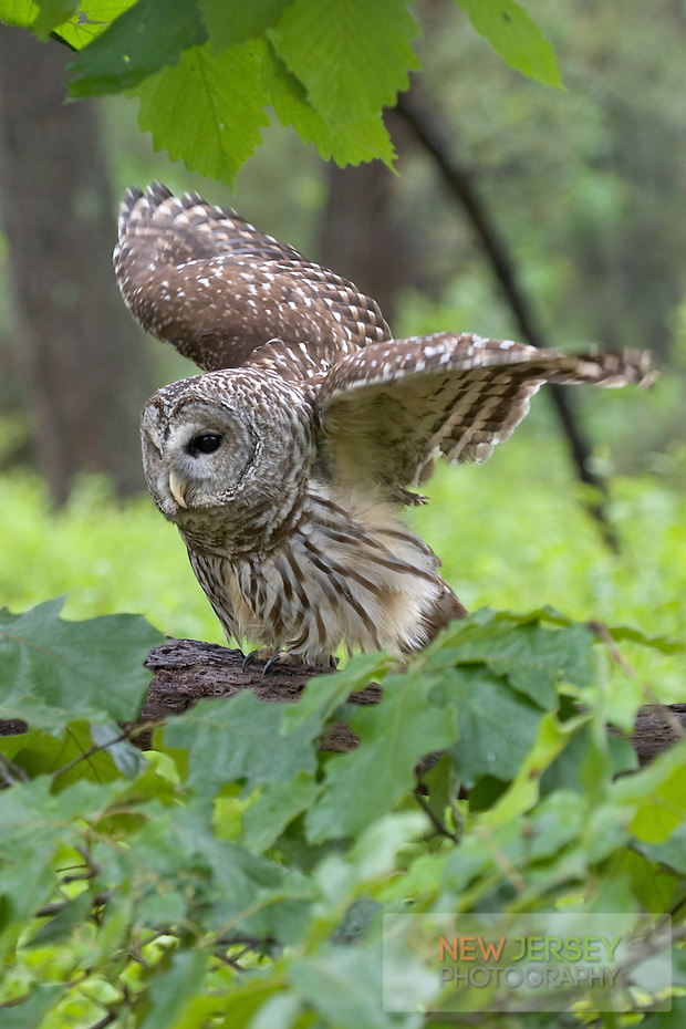 Barred Owl, Pine Barrens, New Jersey (Steve Greer / SteveGreerPhotography.com)