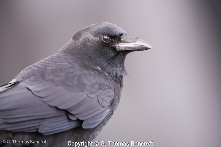 A common crow pauses for a portrait along the beach. (G. Thomas Bancroft)