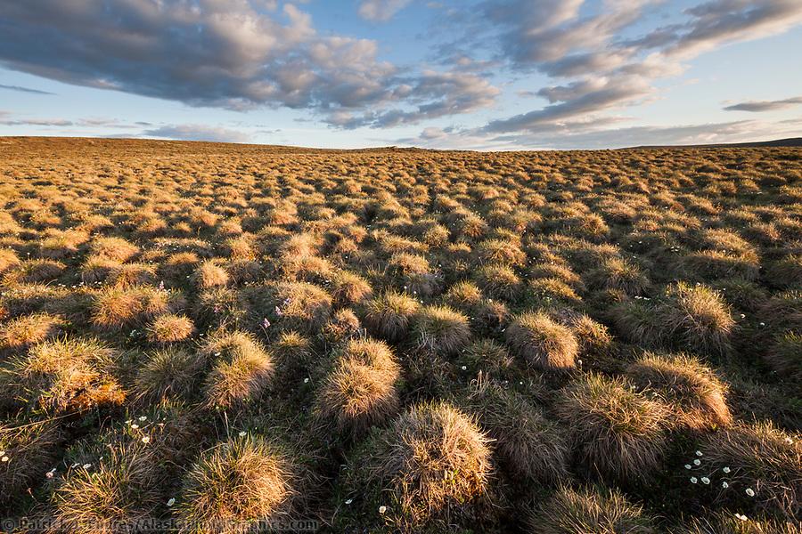Tundra tussocks, Utukok Uplands, National Petroleum Reserve Alaska, Arctic, Alaska. (Patrick J. Endres / AlaskaPhotoGraphics.com)