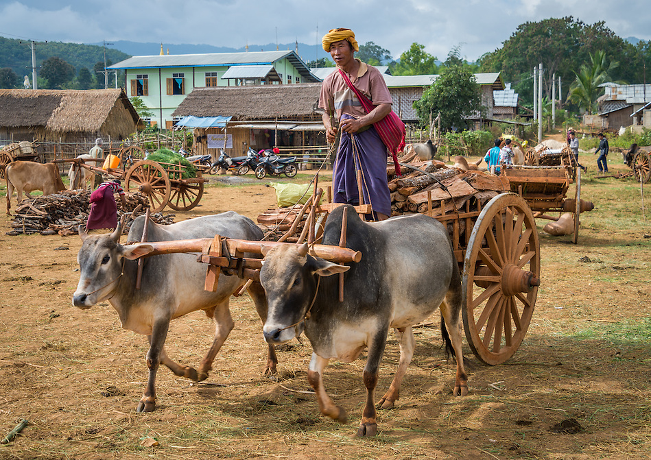 INLE LAKE, MYANMAR - CIRCA DECEMBER 2013: Portrait of burmese man riding an ox cart the Taung Tho Market in Inle Lake, Myanmar (Daniel Korzeniewski)