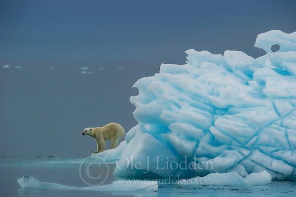 Polar Bear in Nordaustlandet, Svalbard (Ole Jørgen Liodden)