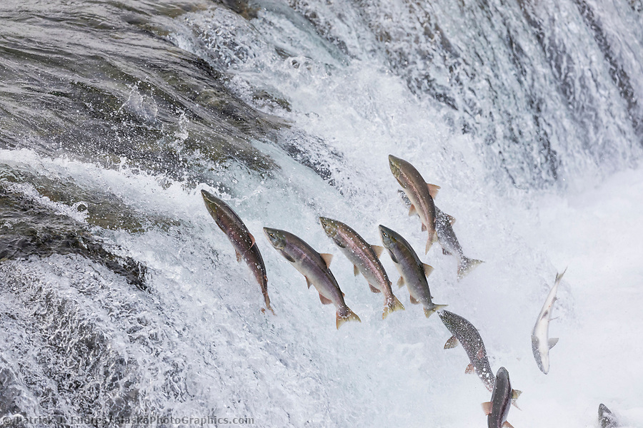 Alaska salmon photos: Red salmon migrate up the Brooks River and leap up the Brooks Falls, Katmai National Park, Alaska. (Patrick J Endres / AlaskaPhotoGraphics.com)