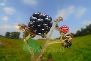 Rubus, blackberry, bramble (Rubus sectio Rubus) (Rubus fruticosus agg.) | Echte Brombeere (Rubus sectio Rubus) (Rubus fruticosus agg.) Früchte, Rubus fruticosus agg. (Solvin Zankl)