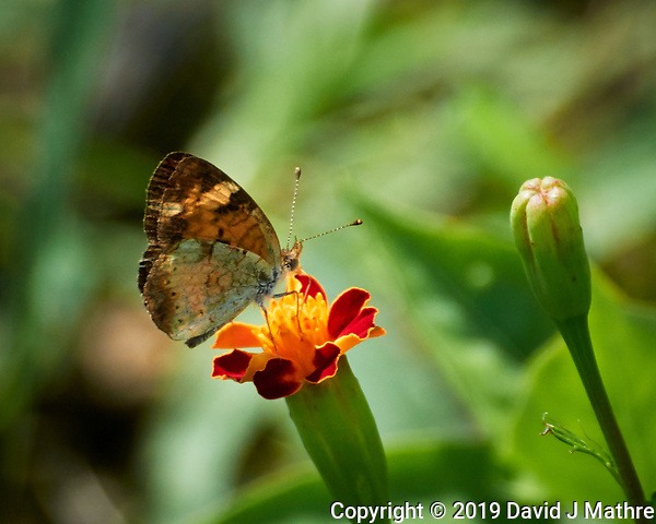 Pearl Crescent (Phyciodes tharos) Butterfly. Image taken with a Nikon 1 V3 camera and 70-300 mm VR lens (DAVID J MATHRE)