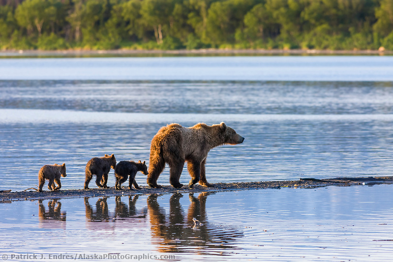 Brown bear sow and triplet cubs of the year, on the spit between Brooks river and Naknek Lake, Katmai National Park, southwest, Alaska. Ⓒ Patrick J. Endres / AlaskaPhotoGraphics.com