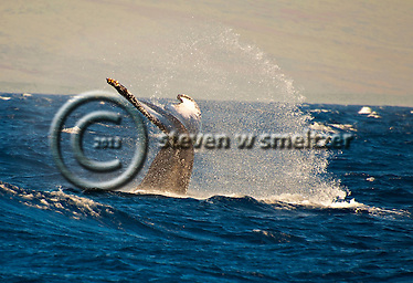 Humpback Whale, Megaptera novaeangliae, Maui Hawaii (Steven Smeltzer)