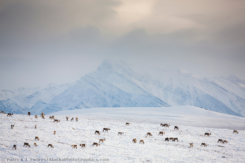 A herd of caribou migrate over the snow covered tundra, Philip Smith mountains of the Brooks Range, arctic, Alaska. (Patrick J. Endres / AlaskaPhotoGraphics.com)