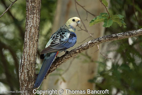 A pale-headed rosella flies to a branch after feeding on grass seeds along the trail. The scalloping on its back was striking in contrast to the pale-yellow head feathers. (G. Thomas Bancroft)