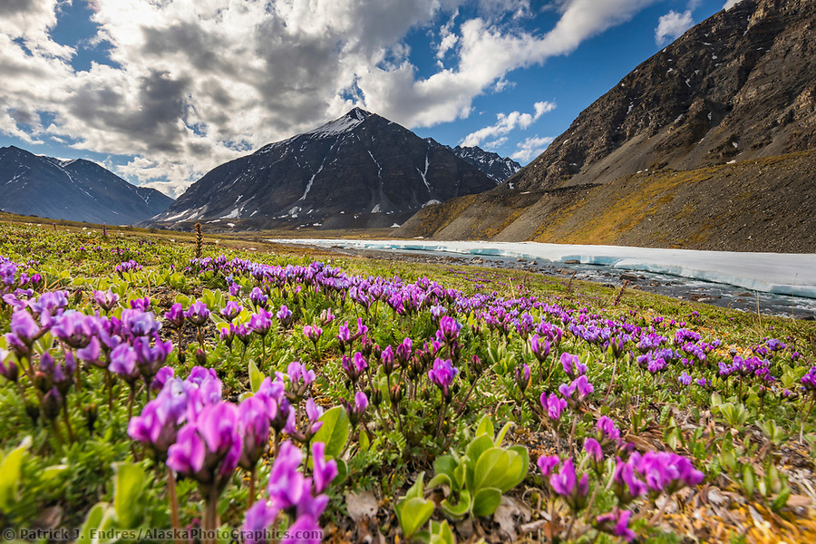 Mountain landscape of purple oxytrope blossoms on the tundra and Itkillik River in the Gates of the Arctic National Park, Alaska. (Patrick J Endres / AlaskaPhotoGraphics.com)