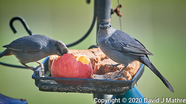 Pair of Gray Catbirds at the bird feeder. Image taken with a Nikon D5 camera and 600 mm f/4 VR lens (ISO 800, 600 mm, f/5.6, 1/1250 sec) (DAVID J MATHRE)