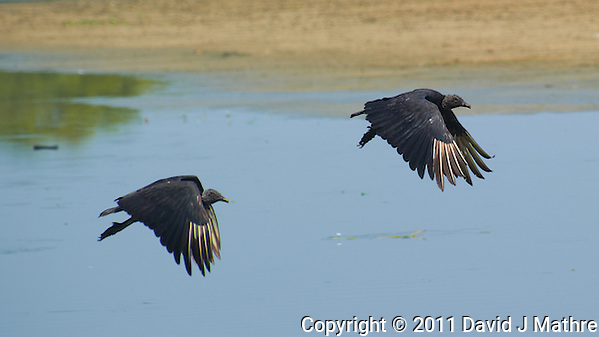 Black Vultures in Flight in Belize. Image taken with a Nikon D3s and 70-300 mm VR lens (ISO 200, 300 mm, f/8, 1/1000 sec). (David J Mathre)